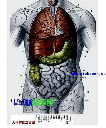 最全的人体内脏结构图(医学图谱)pdf完整版_wishdown.com