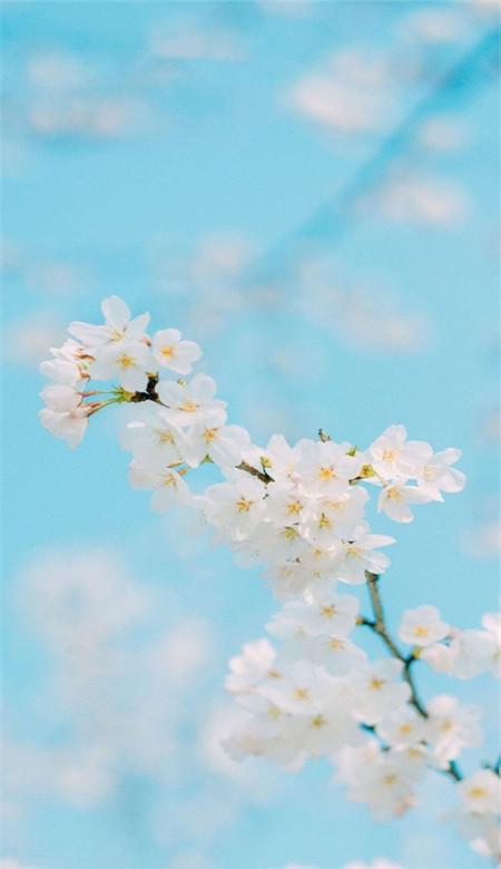 唯美好看的樱花手机壁纸图片_2019最新高清武大樱花