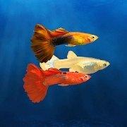 我的孔雀鱼 V1.2 安卓版